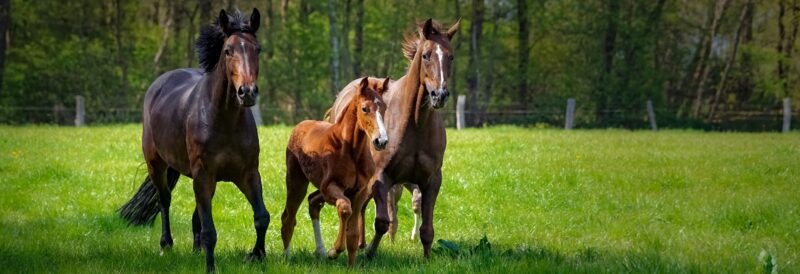 Plocher Pferde